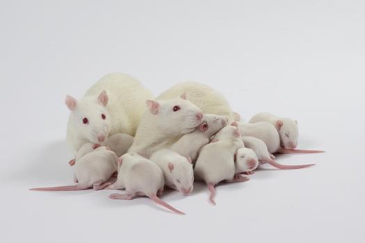 Zoom sur les rats WISTAR dans vos études de recherche